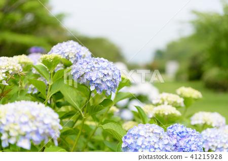 수국 초여름 보라색 파란색 꽃 흰색 41215928