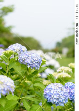 수국 초여름 보라색 파란색 꽃 흰색 41215930