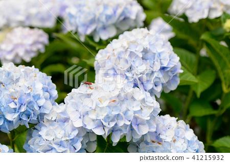 수국 초여름 보라색 파란색 꽃 흰색 41215932
