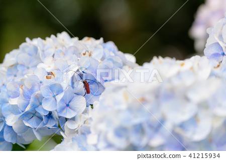 수국 초여름 보라색 파란색 꽃 흰색 41215934