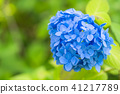 绣球花 花朵 花卉 41217789