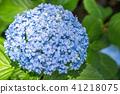 繡球花 花朵 花 41218075