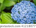 绣球花 花朵 花卉 41218077