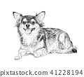 Adorable chihuahua dog on resting pose with shadow 41228194