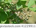 블루 베리, 열매, 과실 41229911