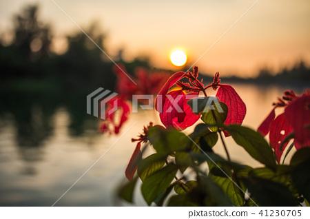 夕陽 紅花 綠葉 41230705
