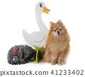 pomeranian spitz and chicken 41233402