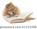 pomeranian spitz and books 41233406