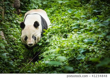 Giand Panda Bear. China Wildlife. 41234848
