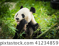 Panda Bear eating bamboo shoot 41234859
