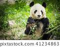 Panda Bear eating bamboo shoot 41234863
