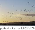 저녁 하늘을 나는 새의 무리 (미야지마 늪의 쇠기러기) 41236676