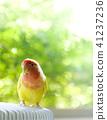 잉꼬, 사랑앵무, 귀엽다 41237236