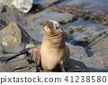Child of sea lion 41238580