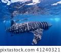 칸쿤 고래 상어 수중 사진 41240321