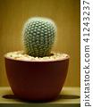 Cuctus. Eriocactus leninghausii 41243237