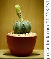 Cactus. Astrophytum 41243251