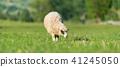 sheep, animal, farm 41245050