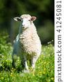 sheep, animal, farm 41245081