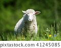 sheep, animal, farm 41245085