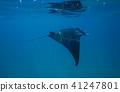 魟魚 蝠鱝 魚 41247801