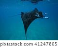 魟魚 蝠鱝 魚 41247805