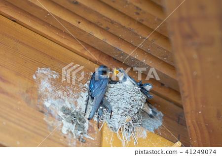 제비의 육아 제비의 둥지에 먹이를주는 어미 새 41249074