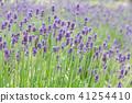 lavander, lavender, lavender field 41254410