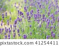 lavander, lavender, lavender field 41254411