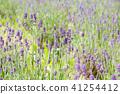 lavander, lavender, lavender field 41254412