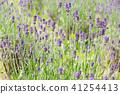 lavander, lavender, lavender field 41254413