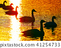 Swan in sunrise, (swan sweet in the morning sun) 41254733