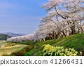 Hinoki Uchikawa櫻花 41266431