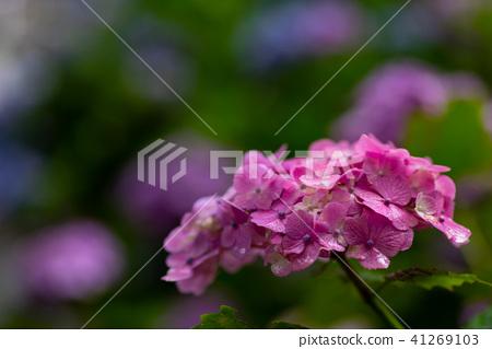 비가 어두운 곳에서 피는 핑크 수국 수풀 배경 41269103