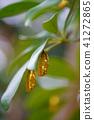 pupa chrysalis rice 41272865