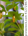 pupa chrysalis rice 41272867