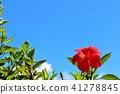 沖繩藍天和木槿 41278845