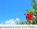 沖繩藍天和木槿 41278861