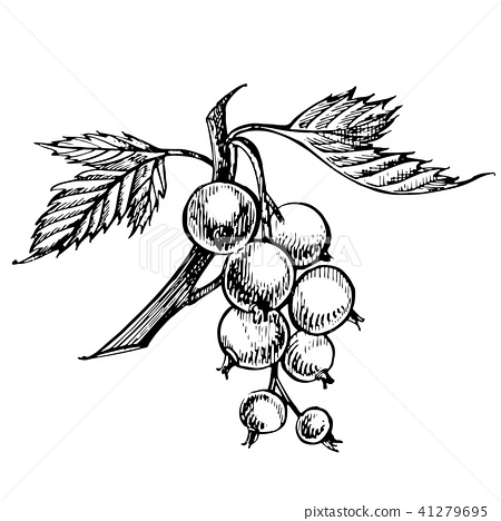 Hand drawn black currant sketch set. Forest berries illustrations. Isolated on white background. 41279695