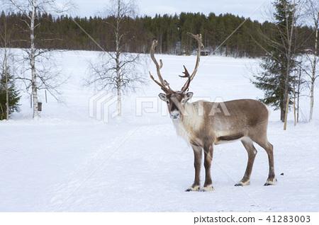芬蘭羅瓦涅米馴鹿 41283003