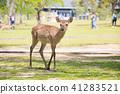 나라 공원의 사슴 41283521
