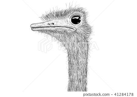 Ostrich sketch. Head closeup 41284178