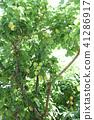 梅 水果 青李 41286917