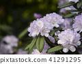 close up on hydrangea macrophylla flowers 41291295