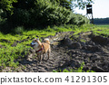 shiba inu dog in the mud 41291305