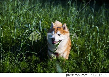 shiba inu dog in the high grass 41291307