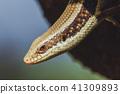 Asian lizard. 41309893
