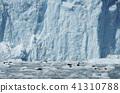 海狗 阿拉斯加 冰川 41310788