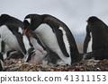 巴布亞企鵝 41311153