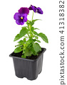 Pansies viola tricolor flower in pot, isolated. 41318382